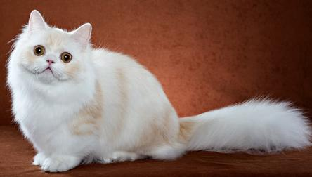 Cat breed: Napoleon Cat characteristics and personality