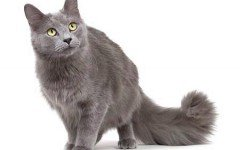 The Nebelung cat: character, behaviour and features. Discover it in Dogalize!