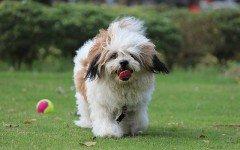 Razze di cani del Tibet: quali sono e le caratteristiche
