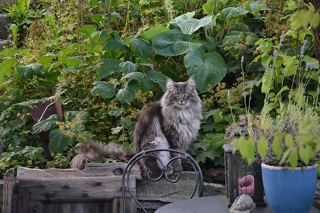 Norwegian forest cat: characteristic and behavior! Discover this wonderful breed on Dogalize