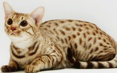 Cat breeds: Ocicat characteristics and personality
