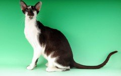 The Oriental Bicolor cat is any type of Oriental type cat and with any pattern but with white areas on its coat. They are vocal and require attention.