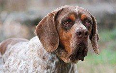 Razas de Perros: Perro Pachon Navarro caracteristicas