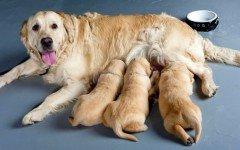 ¿ Cuanto dura el embarazo de un perro?