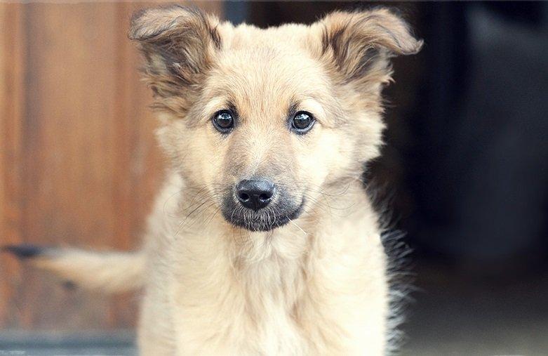 Razas de Perros: perro Pastor Vasco caracteristicas y cuidados