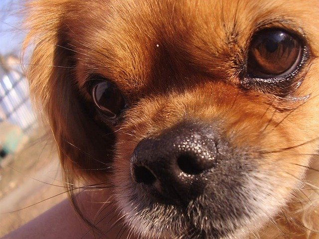 Malattie del cane: l' idrocefalo, sintomi e cause