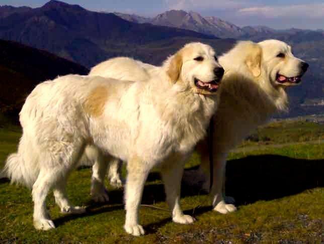 Razas de Perros: Perro de montaña de los Pirineos