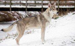 Razas de Perros: Perro Lobo de Saarloos caracteristicas