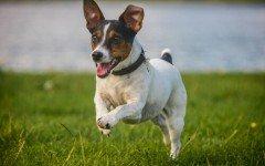 Razas de Perros: Perro Bodeguero caracteristicas y cuidados