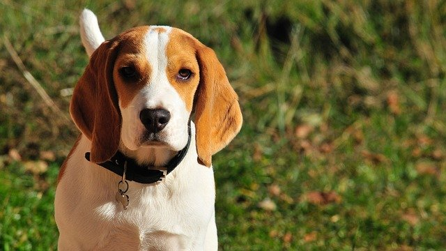 Le malattie tipiche del cane beagle: quali sono?