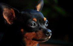 Alimentazione del cane Pinscher: la dieta ideale