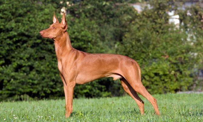 Razas de Perros: perro Podenco, caracteristicas