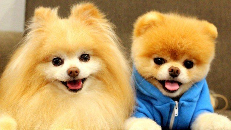 Perro Boo: el perro más mono del mundo