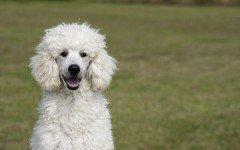 Alimentazione del cane barboncino, come nutrirlo al meglio