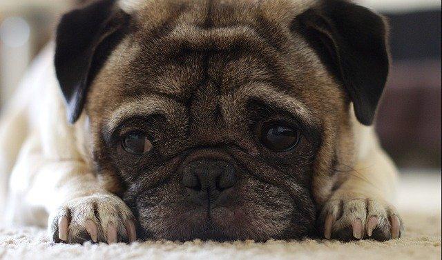 Malattie del cane Carlino: quali sono le patologie più comuni