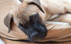 Razze cani: il cane Mastiff, aspetto e caratteristiche