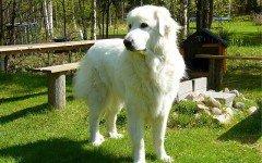Razze cani: Cane da montagna dei Pirenei le origini e le caratteristiche