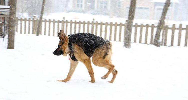 Quasimodo, el perro sin cuello que tiene mucho amor para dar