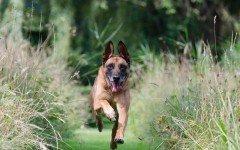 Come addestrare un cane per ricerca persone