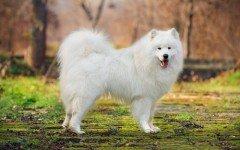 Las razas de perros más caras del mundo los perros mas caros del mundo