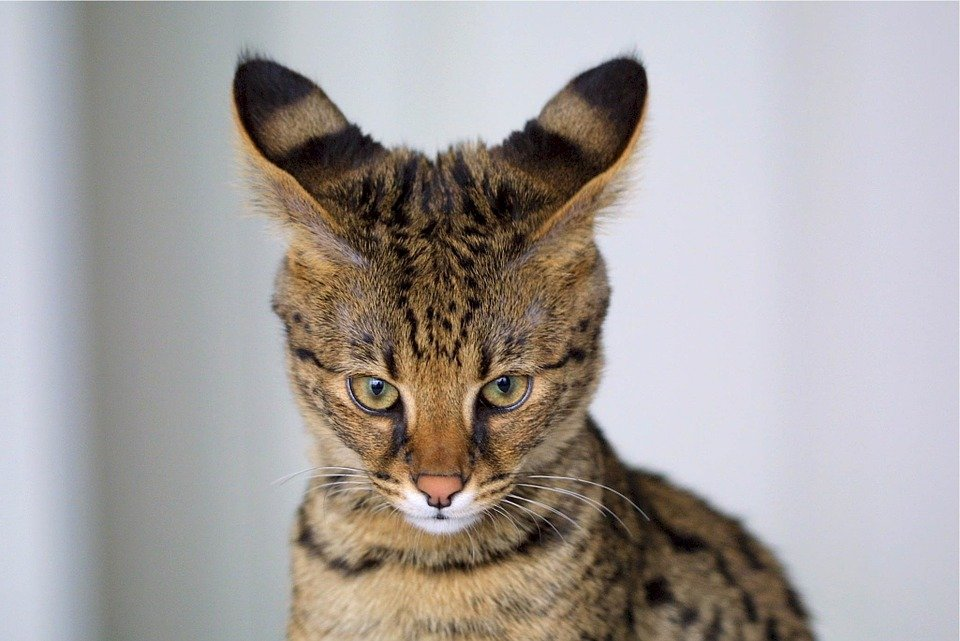 Razas Felinas: Gato Savannah caracter y características gatos Savannah