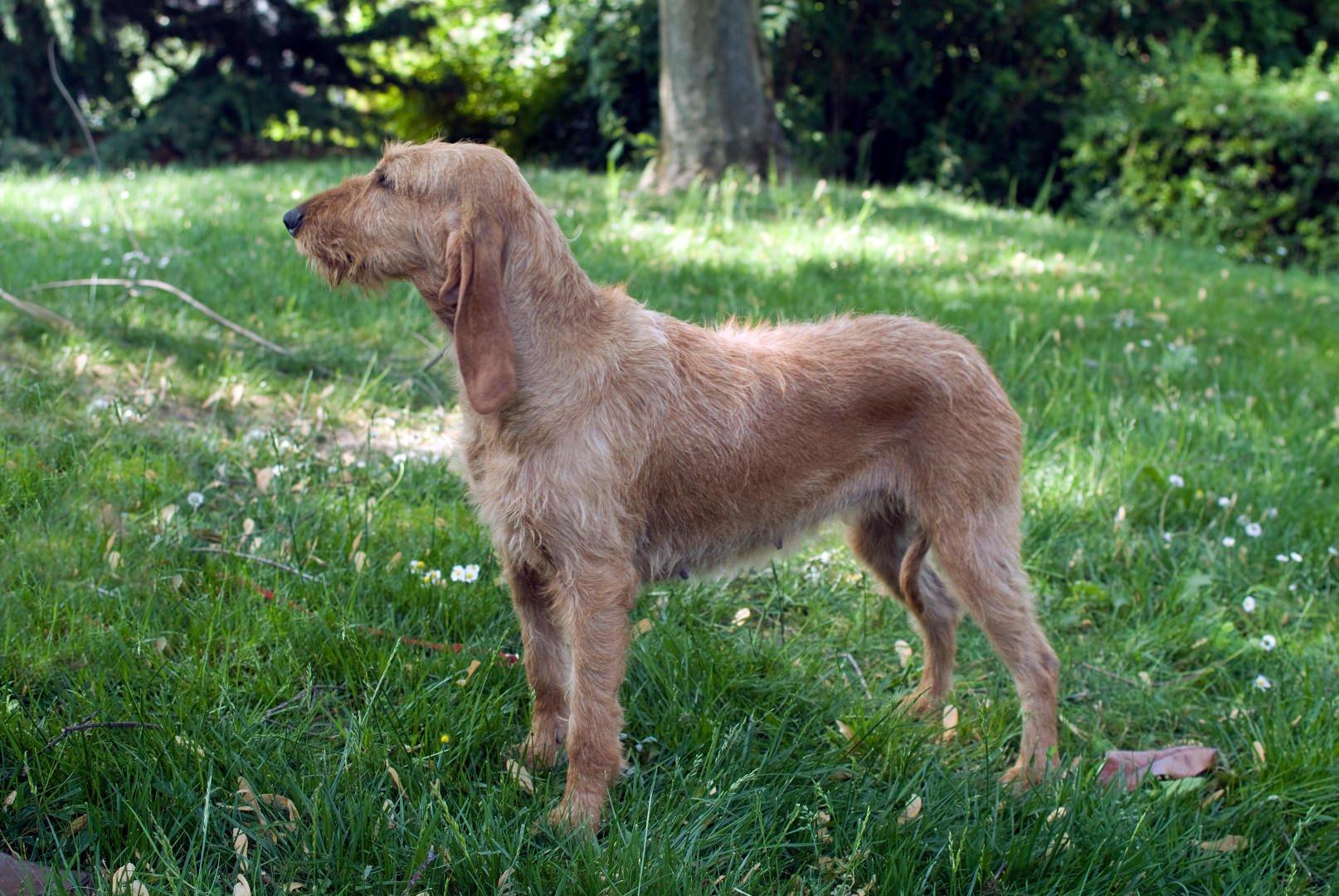 Razze cani: il cane Segugio Italiano a pelo forte