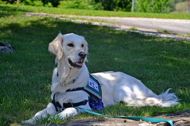A Service Dog: job and training of service dogs