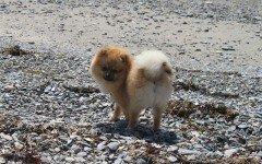 Alimentazione del cane volpino: la dieta corretta
