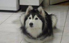 Tally, il cane husky che crede di essere un gatto