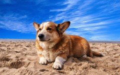 Dog breeds: Cardigan Welsh Corgi dog origin and temperament