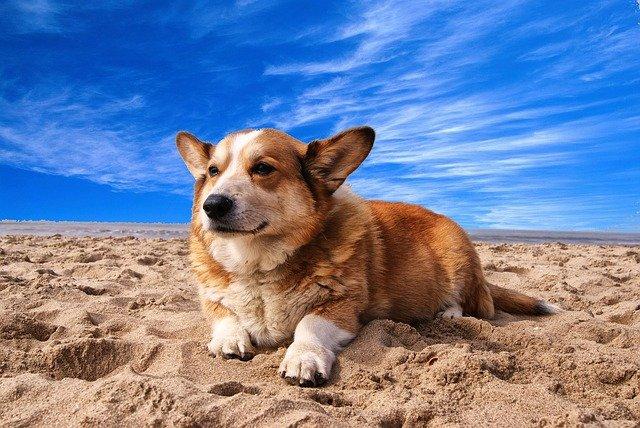 Dog breeds: Cardigan Welsh Corgi dog origin and temperament