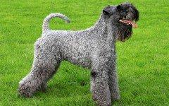 Razas de Perros: perro Kerry Blue Terrier caracteristicas