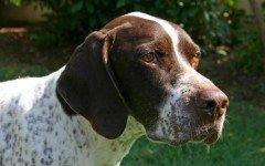 Razas de Perros: perro Braco Frances caracteristicas y cuidados