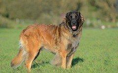 Razas de Perros: Leonberger caracteristicas y cuidados
