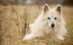 Razas de Perros: perro Pastor Garafiano caracteristicas y cuidados