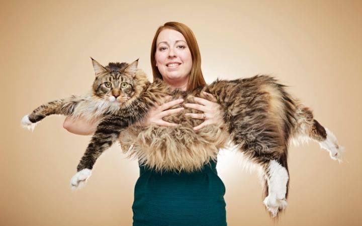 El gato mas grande del mundo: conoce los felinos gigantes