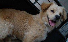 Razas de Perros: perro Pastor Peruano Chiribaya caracteristicas