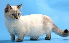 Razas Felinas: Gato Munchkin características y carácter