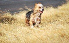 Razas de Perros: perro Ovejero magallanico caracteristicas