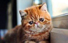 El Gato Exotico: conoce este hermoso felino