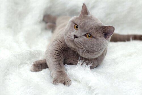 Gato British Shorthair: características de un cálido felino