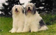 Razas de Perros: perro Pastor de Valee caracteristicas y cuidados