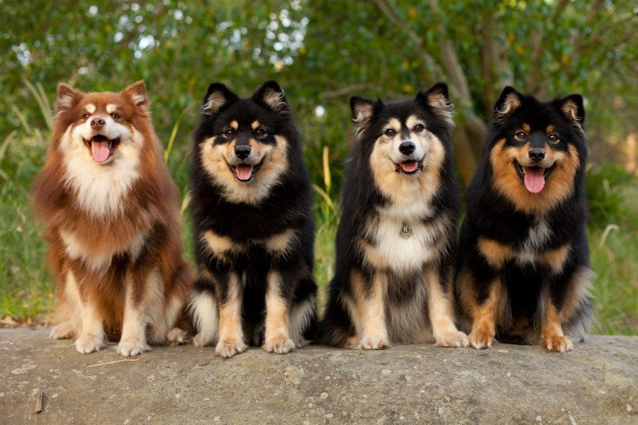 The beautiful Finnish Lapphund dog is a medium-sized dog of the Spitz family. He typically herds reindeer in his native Lapland, at the north of Finland.