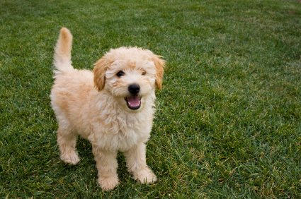 The Goldendoodle dog is a designer dog that results from the crossing between a Golden Retriever and a Poodle. He is a social dog that loves his family.