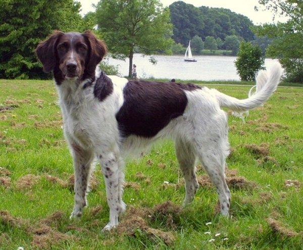 Razas de perros: Munsterlader pequeño caracteristicas