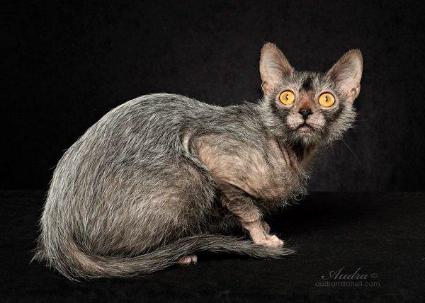 Gato lobo: Lykoi, un gato que causan furor en internet