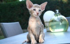 The Oriental Shorthair cat is a loud and raspy cat, related to the Siamese. They are very fond of their people and make great company cats.