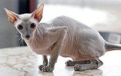 The Peterbald cat can be considered a hairless version of the Oriental Shorthair. They are dog-like loyal and make great family pets.