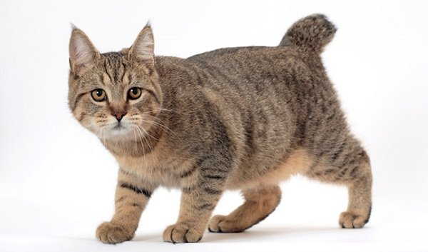 Razas Felinas: Gato Pixie Bob características y carácter