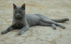 The Raas cat is a domestic cat originated in the Indonesian island of Raas. They are an endemic breed that has a difficult time adapting to humans.